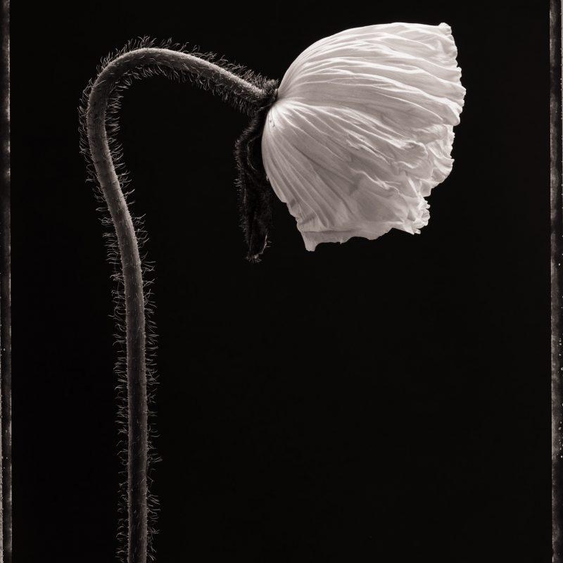 Poppy No.1 (II) c. 2000